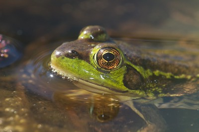 Mink Frog Rana septentrionalis Jay West Bog Carlton Co MN IMG_0041080