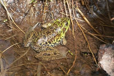 Mink Frog Rana septentrionalis Skogstjarna Carlton Co MN IMG_0057049