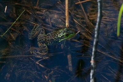 Mink Frog Skogstjarna Carlton Co MN IMG_0037262