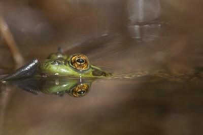 Mink Frog Rana septentrionalis Skogstjarna Carlton Co MN IMG_0057065