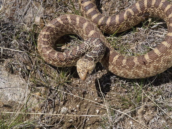 PC 07MY0422<br /> Bull Snake - a type of constrictor, non-poisonous.