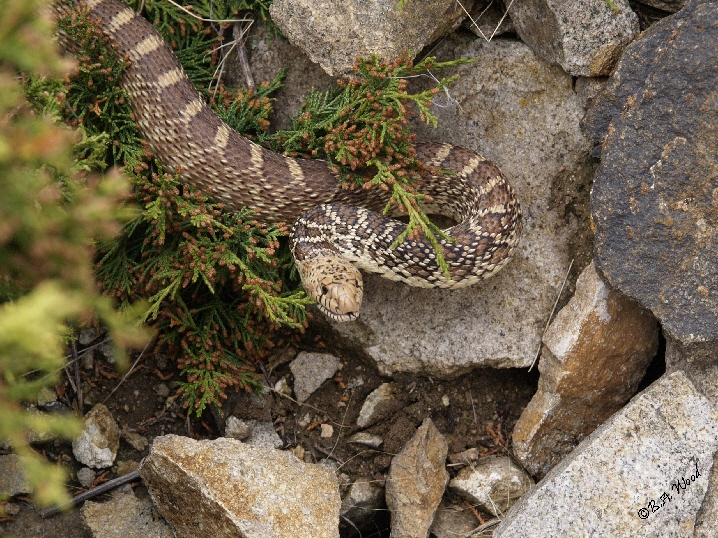 PC 07MY0450<br /> Bull snake (Pituophis catenifer).