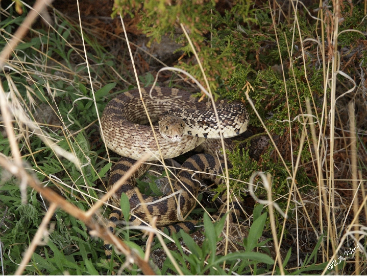 PC 07MY0452<br /> Bull snake (Pituophis catenifer).