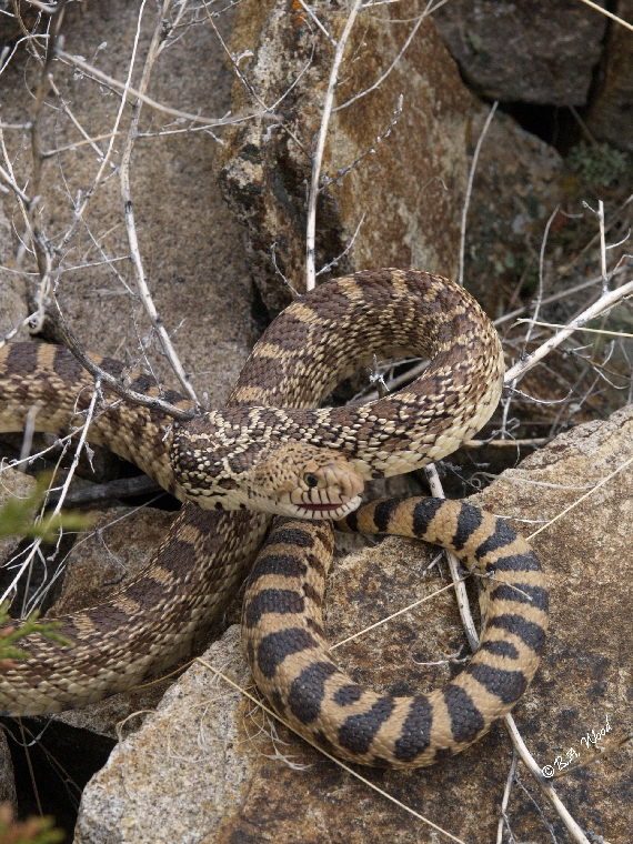 PC 07MY0449<br /> Bull snake (Pituophis catenifer).