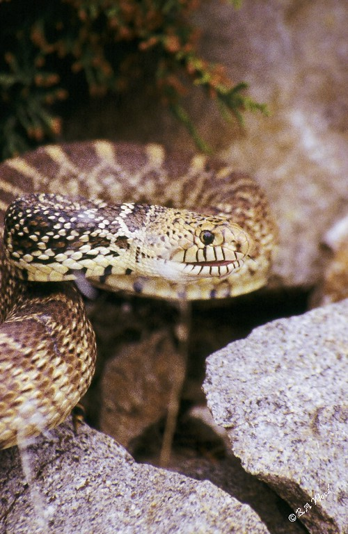 PC 07MY0030<br /> Bull snake - aka Gopher snake (Pituophis catenifer). <br /> <br /> A type of constrictor.<br /> <br /> The gopher or bull snake can reach a length of 7 feet (it is Montana's largest snake), but most range from 3 to 5 feet. It can be readily identified by a series of large black to brown blotches that run down the back, and another series along the sides. The blotches, which are set on a yellow background, become more widely spaced toward the tail. The dorsal scales are keeled (have a ridge running down the center). A black band can usually be seen on the head in front of and extending below the eyes. The belly is yellow to white, often spotted with black.