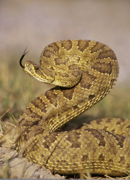 CV 30052<br /> Prairie rattlesnake (Crotalus viridus viridus).