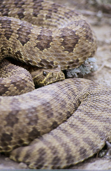 CV 0016<br /> Prairie rattlesnake (Crotalus viridus viridus).<br /> <br /> When a snake feels threatened, it will cover its head with it's coils.