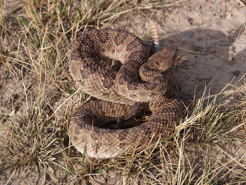 CV 06SP2202<br /> Prairie rattlesnake (Crotalus viridus viridus).