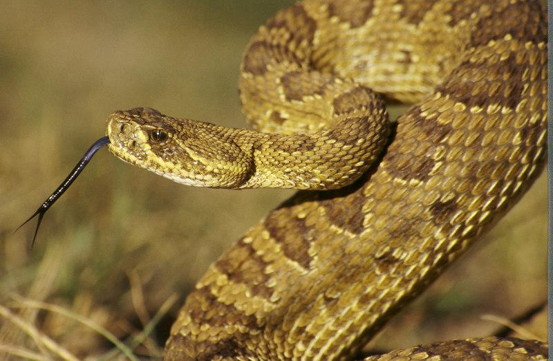 CV 30055<br /> Prairie rattlesnake (Crotalus viridus viridus).<br /> Forked tongue beasty.