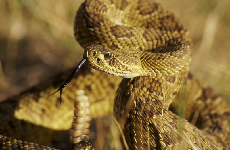 CV 30047 Prairie rattlesnake (Crotalus viridus viridus).