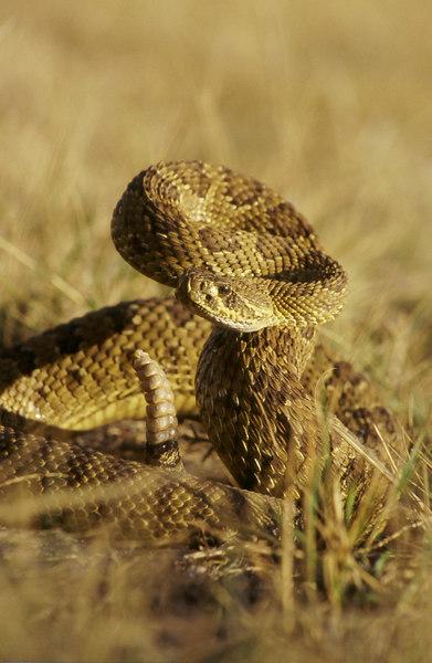 CV 30008<br /> Prairie rattlesnake (Crotalus viridus viridus).