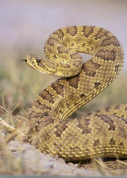 CV 0022<br /> Prairie rattlesnake (Crotalus viridus viridus).