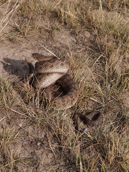 CV 06SP2188<br /> Prairie rattlesnake (Crotalus viridus viridus).<br /> <br /> Adult and infant rattlesnakes.