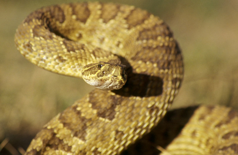 CV 30064<br /> Prairie rattlesnake (Crotalus viridus viridus).