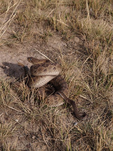 CV 06SP2192<br /> Prairie rattlesnake (Crotalus viridus viridus).<br /> <br /> Adult and infant rattlesnakes.