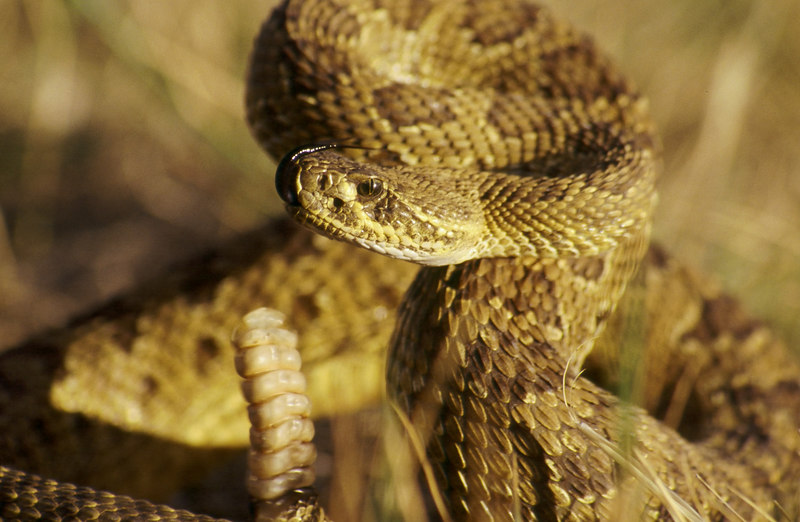 CV 30030<br /> Prairie rattlesnake (Crotalus viridus viridus).<br /> <br /> This snake has 7 rattles on its tail.  It is probably 2-3 years old.  Snakes add a new rattle every time they shed their skin.  They shed from 1-4 times per year.