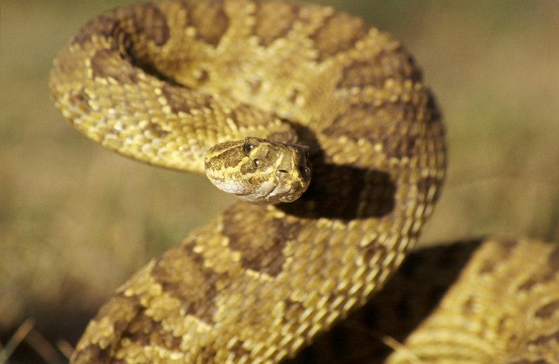CV 30059<br /> Prairie rattlesnake (Crotalus viridus viridus).