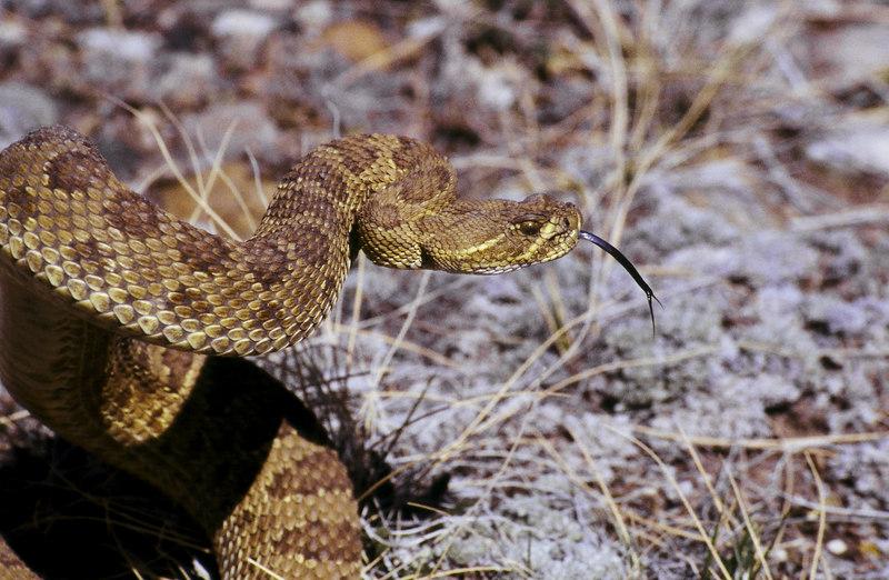 CV 30009<br /> Prairie rattlesnake (Crotalus viridus viridus).