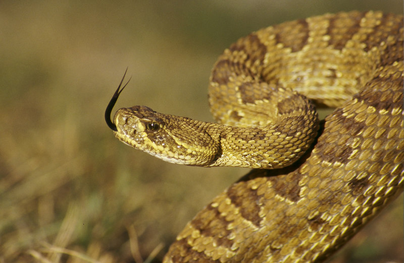 CV 30056<br /> Prairie rattlesnake (Crotalus viridus viridus).