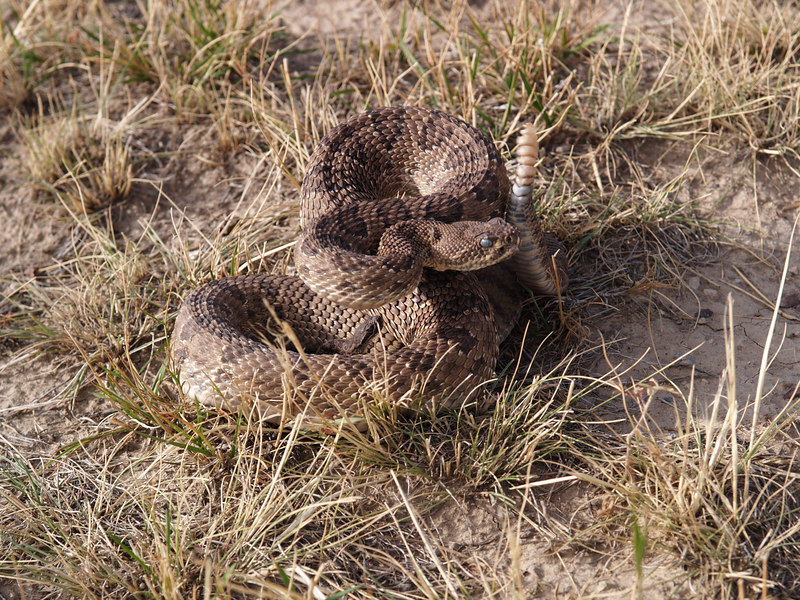 CV 06SP2203<br /> Prairie rattlesnake (Crotalus viridus viridus).<br /> <br /> Blue-eyed and blue rattles.  It's getting ready to shed its skin.<br /> <br /> There is a young rattlesnake in the adult's coils.