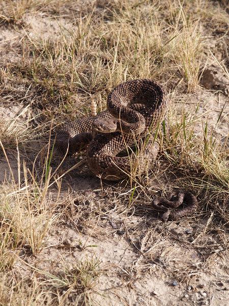 CV 06SP2183<br /> Prairie rattlesnake (Crotalus viridus viridus).<br /> <br /> Adult and infant rattlesnakes.