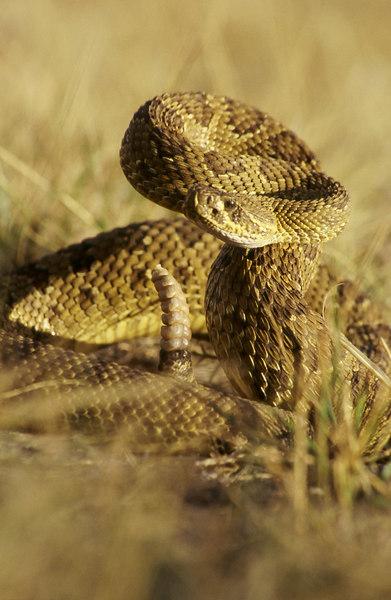 CV 30027<br /> Prairie rattlesnake (Crotalus viridus viridus).