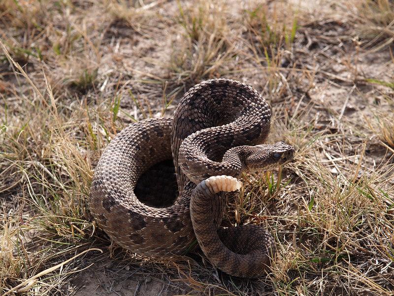 CV 06SP2200<br /> Prairie rattlesnake (Crotalus viridus viridus).