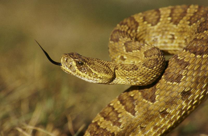 CV 30057<br /> Prairie rattlesnake (Crotalus viridus viridus).