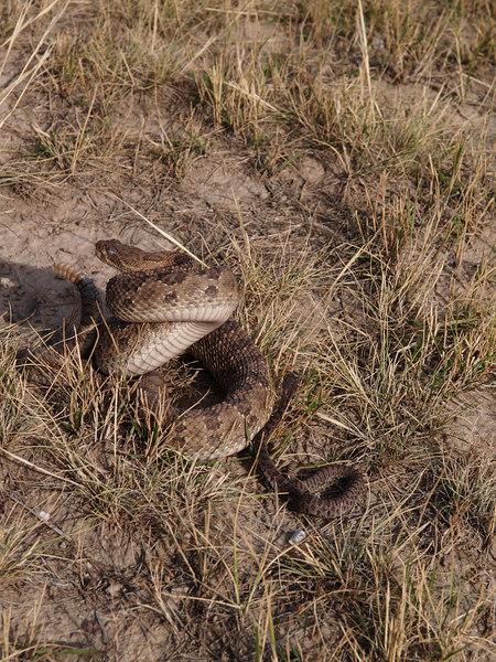 CV 06SP2189<br /> Prairie rattlesnake (Crotalus viridus viridus).<br /> <br /> Adult and infant rattlesnakes.