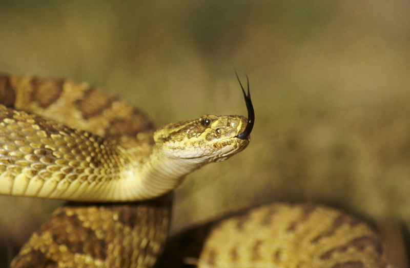 CV 0011<br /> Prairie rattlesnake (Crotalus viridus viridus).