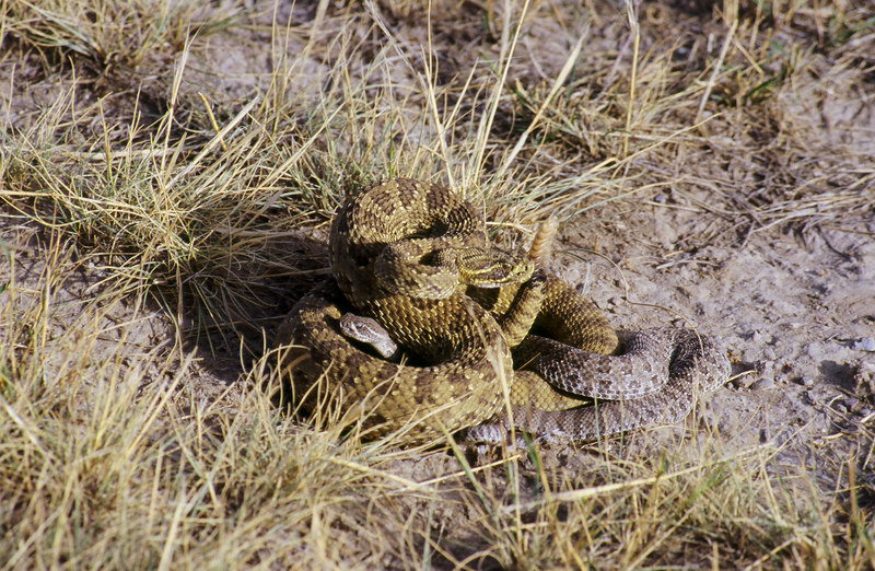 CV 0038<br /> Prairie rattlesnake (Crotalus viridus viridus).<br /> <br /> Rattlesnakes come in a variety of color.  Yellow, grey, greenish yellow, brown.