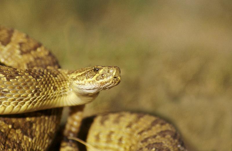 CV 0018<br /> Prairie rattlesnake (Crotalus viridus viridus).