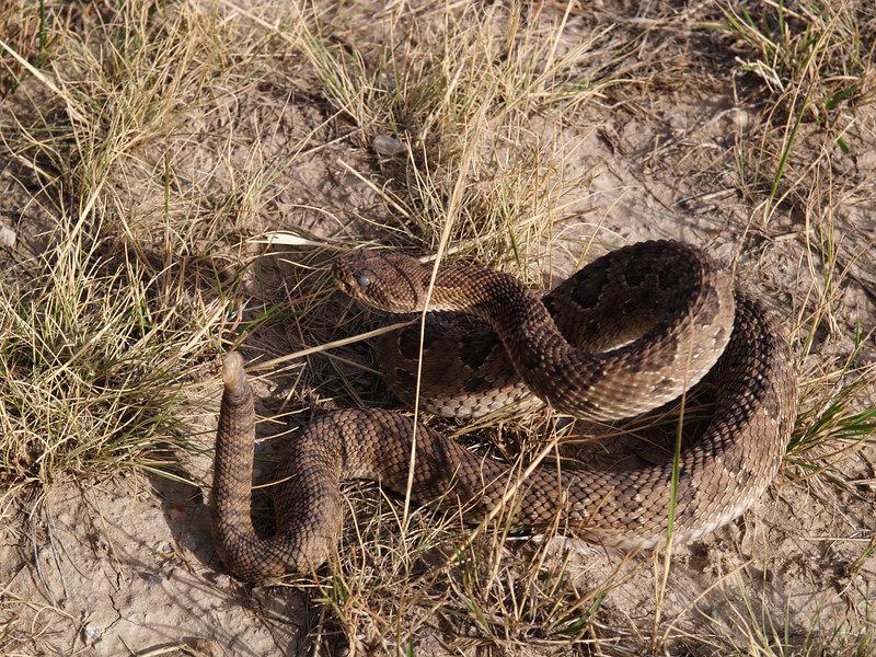 CV 06SP2181<br /> Prairie rattlesnake (Crotalus viridus viridus).