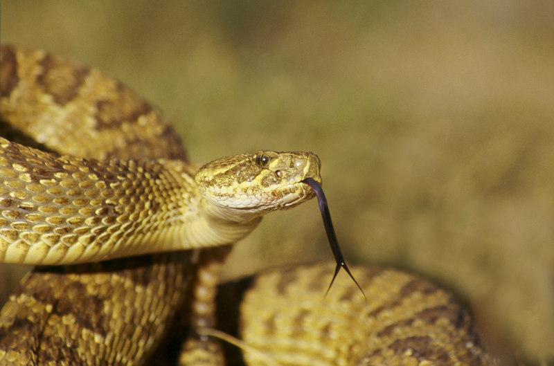 CV 0006<br /> Prairie rattlesnake (Crotalus viridus viridus).