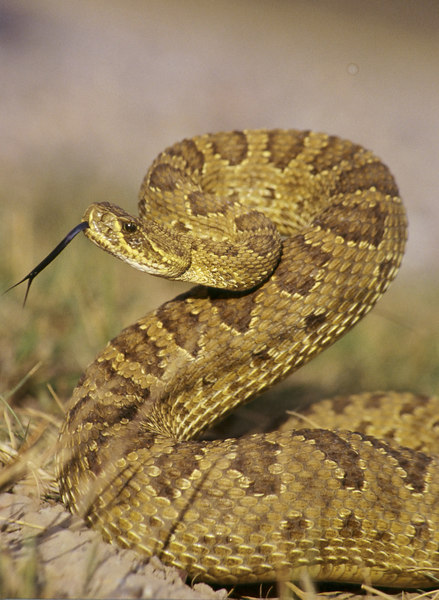 CV 30058<br /> Prairie rattlesnake (Crotalus viridus viridus).
