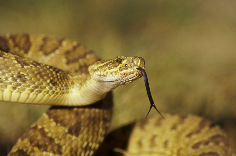 CV 30007<br /> Forked tongue beasty.<br /> <br /> Prairie rattlesnake (Crotalus viridus viridus).