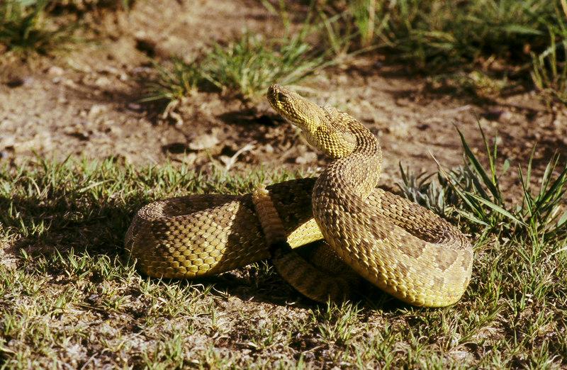 CV 30015<br /> Prairie rattlesnake (Crotalus viridus viridus).