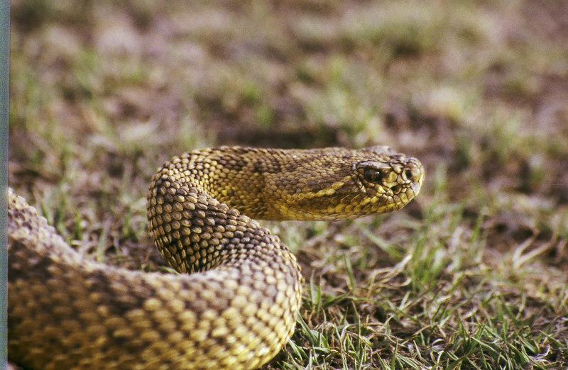 CV 30019<br /> Prairie rattlesnake (Crotalus viridus viridus).