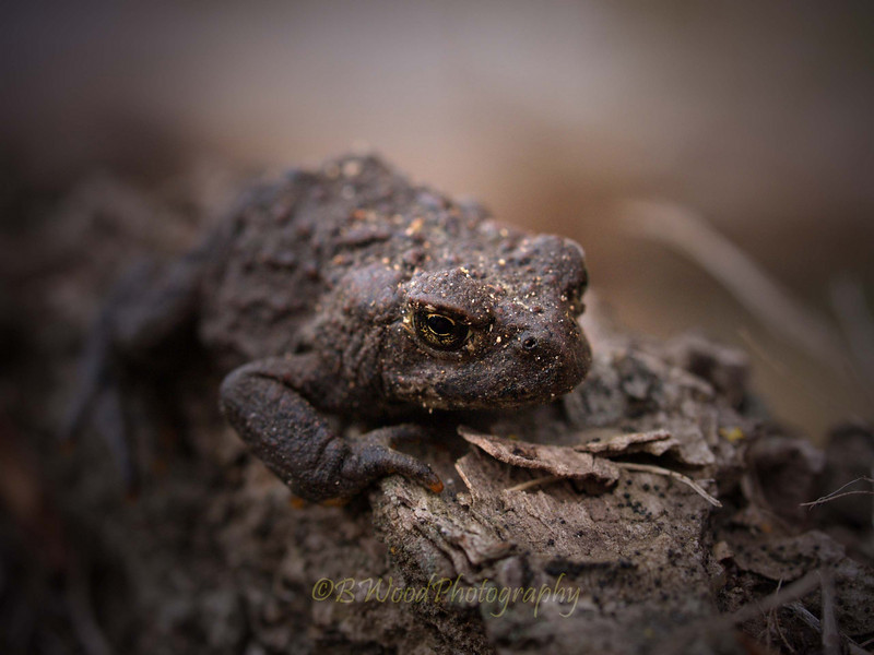BB 09AP5165<br /> Western Toad (Bufo boreas).