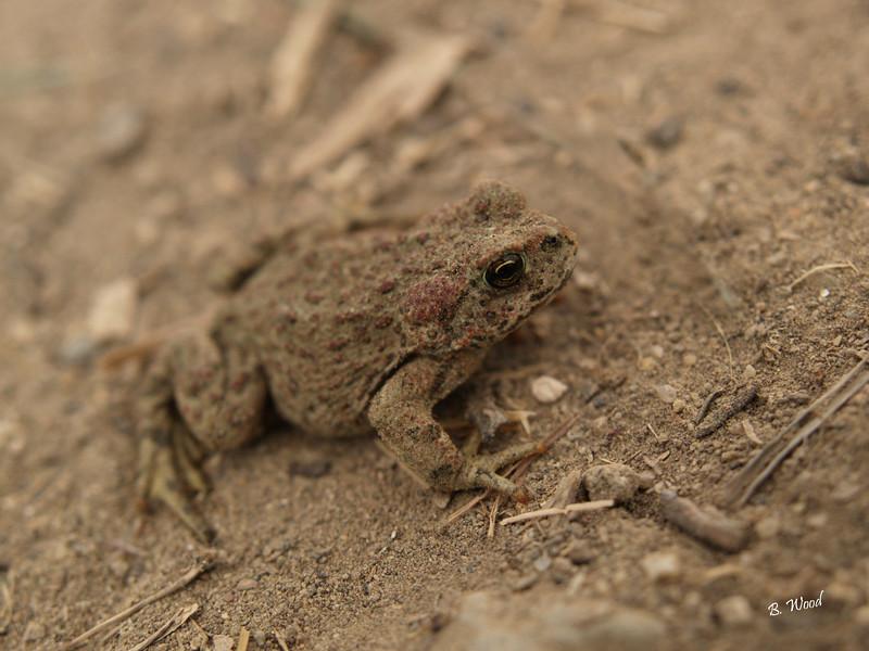 BB 07MY4977<br /> Western Toad (Bufo boreas).