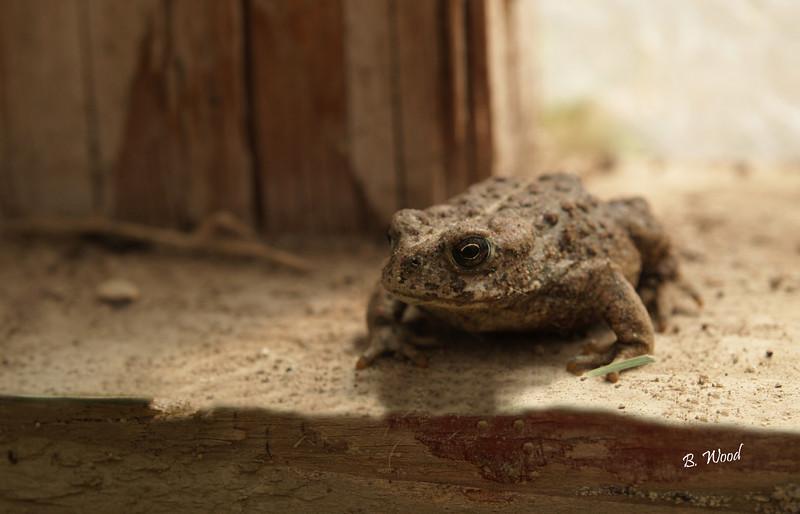 BB 07MY4701<br /> Western Toad (Bufo boreas).