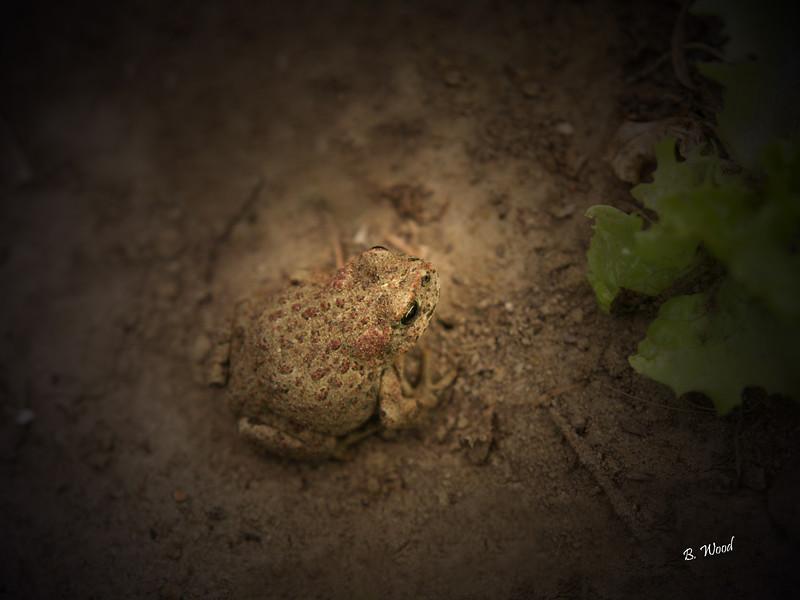 BB 07MY4968<br /> Western Toad (Bufo boreas).