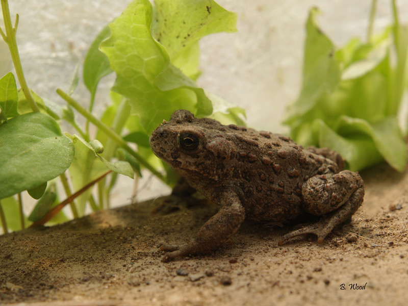 BB 07MY4698<br /> Western Toad (Bufo boreas).
