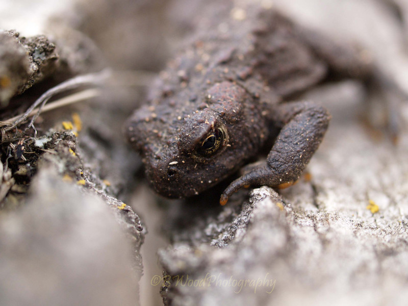BB 09AP5164<br /> Western Toad (Bufo boreas).