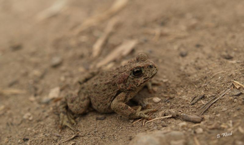 BB 07MY4976<br /> Western Toad (Bufo boreas).