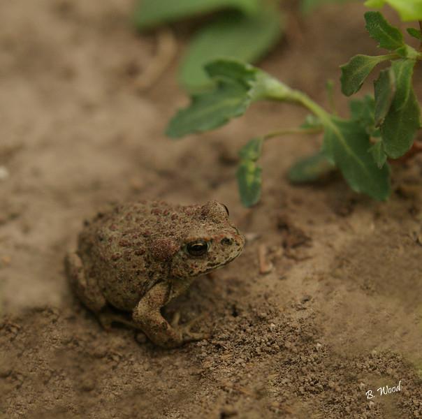 BB 07MY4969<br /> Western Toad (Bufo boreas).