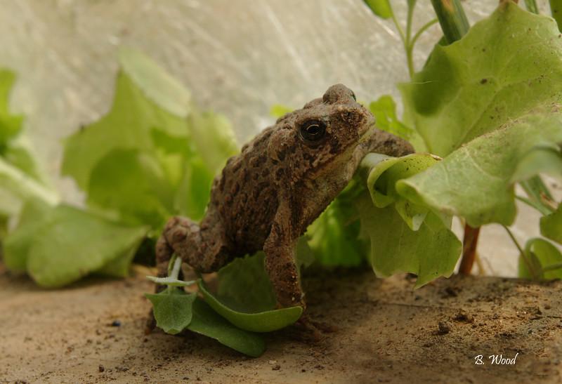 BB 07MY4687<br /> Western Toad (Bufo boreas).