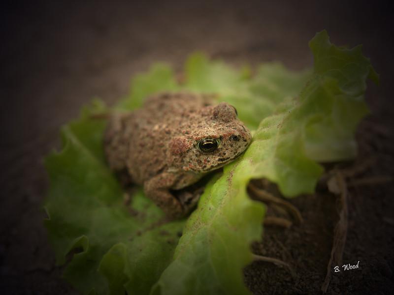 BB 07MY4982<br /> Western Toad (Bufo boreas).