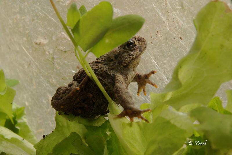 BB 07MY4685<br /> Western Toad (Bufo boreas).