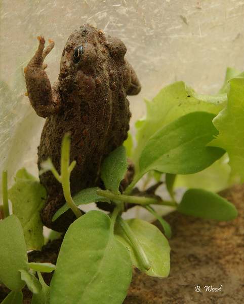 BB 07MY4684<br /> Western Toad (Bufo boreas).